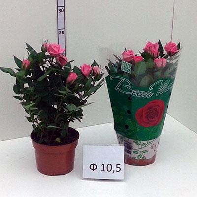 Стайни саксийни растения