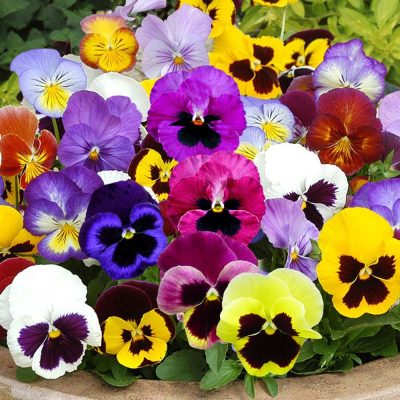 Swiss-Giants-Mix-Pansy