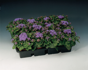 Ageratum-houstonianum-Fields-Blue_19405_2