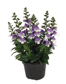 Angelonia-angustifolia-Archangel-Blue-Bicolour_32672_3