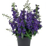 Angelonia-angustifolia-Archangel-Dark-Purple_30491_3