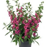 Angelonia-angustifolia-Archangel-Deep-Rose_19587_4