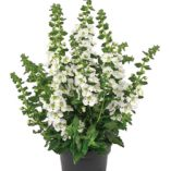 Angelonia-angustifolia-Archangel-White_18736_3