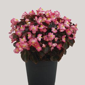 Begonia-semperflorens-New-Globe-F1-Ducolour_10599_5