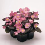 Begonia-semperflorens-New-Globe-F1-Rose_32541_1