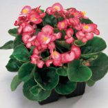 Begonia-semperflorens-Quick-F1-Bicolour_10594_1