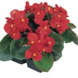 Begonia-semperflorens-Quick-F1-Red_10590_1
