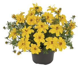 Bidens-ferulifolia-Sixbi-Gold_32938_2
