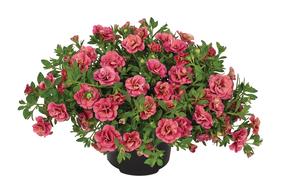 Calibrachoa-x-hybrida-Can-Can-Rosies-Apricote_32723_3
