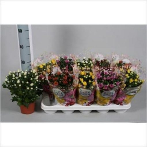 Chrysanthemum Mixed 7 Colours