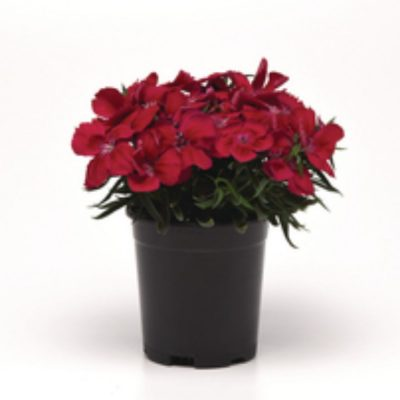 Dianthus-chinensis-Corona-F1-Cherry-Red_34487_7