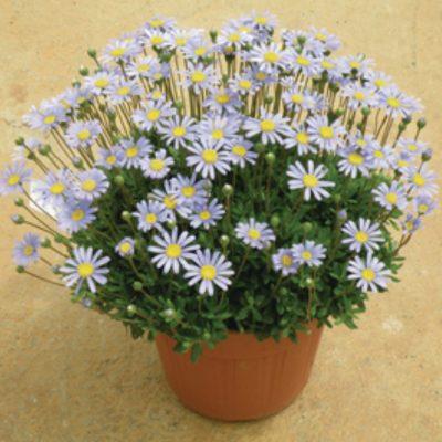 Felicia-amelloides-FeliciTARA-Blue_19471_1