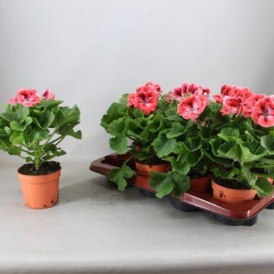 Pelargonium Pel Gr Mandarino