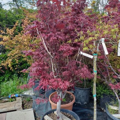 Acer palm purp. 189.70