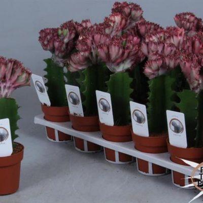 Euphorbia Euphor Lac Cristata