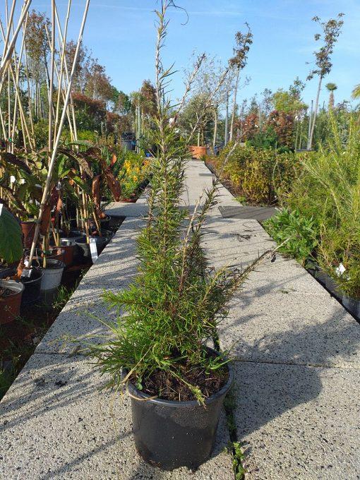 Grevillea rosmarinifolia f13 7.50lc