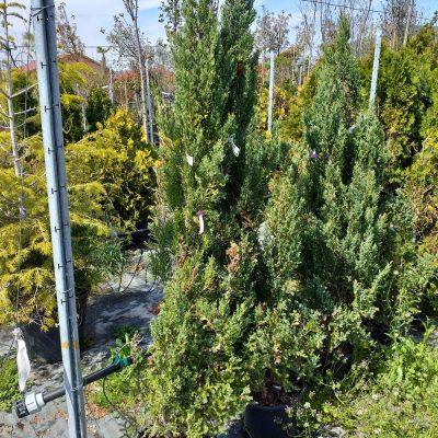 Juniperus Comunnis Variegata 55.50lv