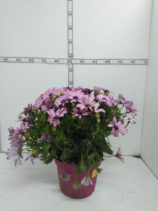 Osteospermum 8.10 i 4.80