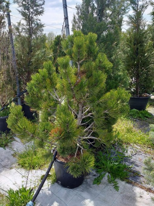 Pinus leucodermis 130lv