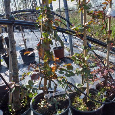 Roza vlacheshra oranjeva 10.70lv
