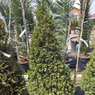 Taxus baccata 100-120H 256.20lv