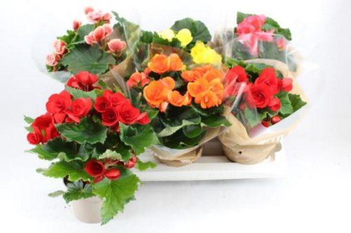 begonia mixed f13