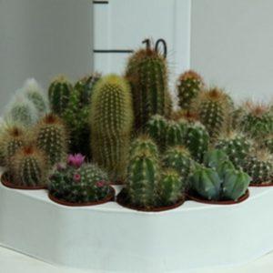 Cactus-Rondella